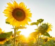 Zonnebloemen planten
