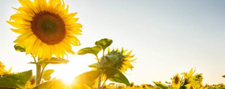 Zonnebloemen planten facebook