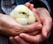 Eenzaamheid voorkomen met een kip