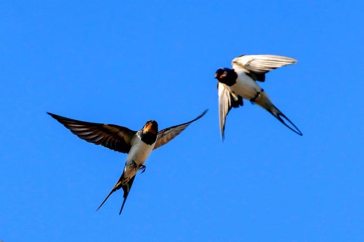 Boerenzwaluwen in de lucht