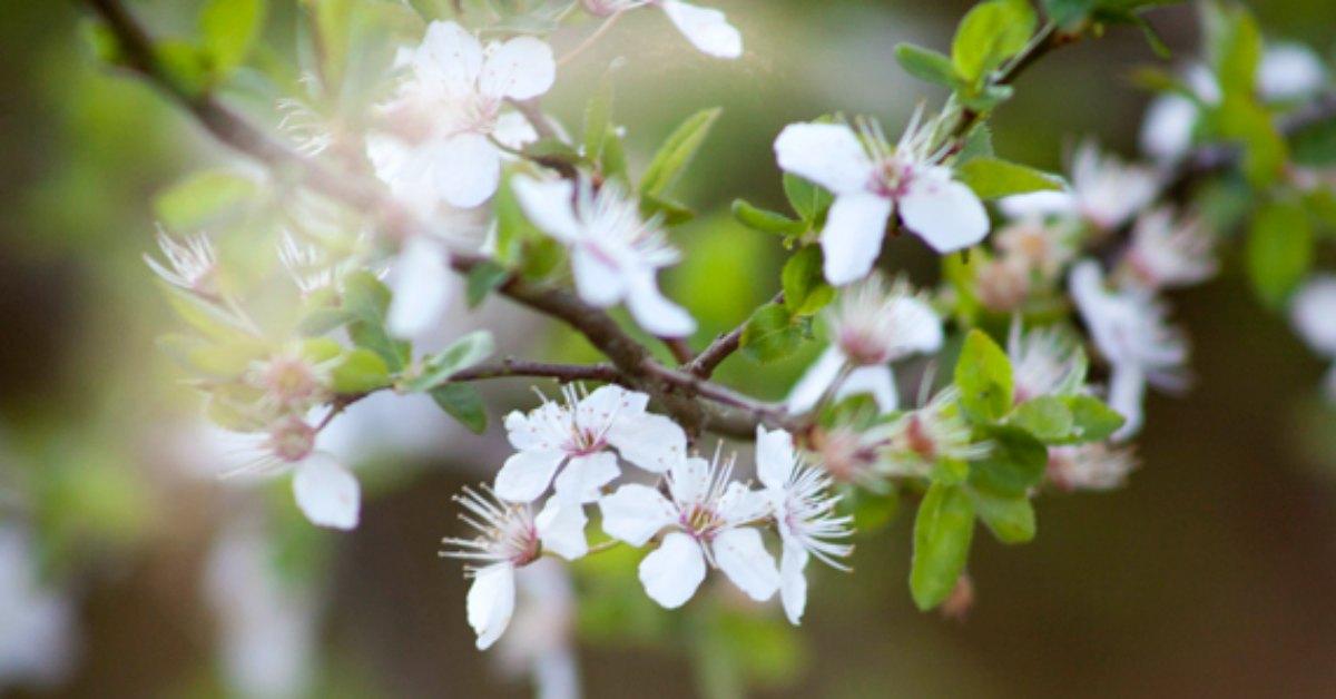 Lentebloesem en lente vogels