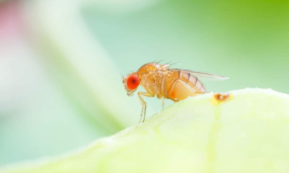 Fruitvliegjes vangen